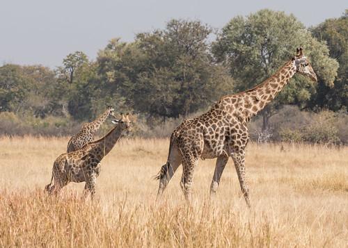 Giraffes - Giraffa camelopardalis