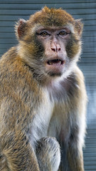 A macaque with open mouth
