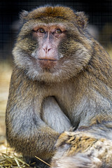 Another macaque posing