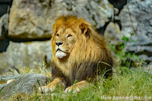 Lion on Boras Zoo Sweden 2019
