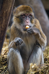 Macaque eating an apple