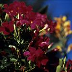 Fleurs de Suisse - 8  (MF Velvia 100)