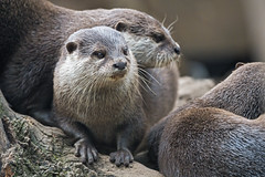 Otters together