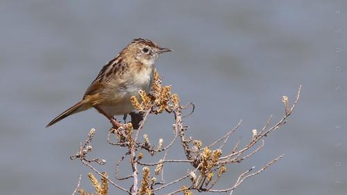Fuínha-dos-juncos - Cisticola juncidis - Fan-tailed Warbler