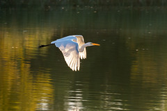 Backlit Great Egret in Flight