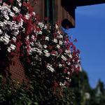 Fleurs de Suisse - 9  (MF Velvia 100)