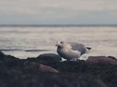 Seaside Bird Bokeh | 3. Oktober 2019 | Fehmarn - Schleswig-Holstein - Deutschland