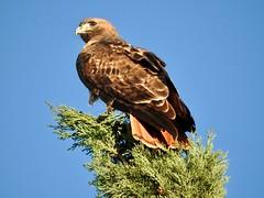 Arizona   -   Southeast   -   Red-Tailed Hawk