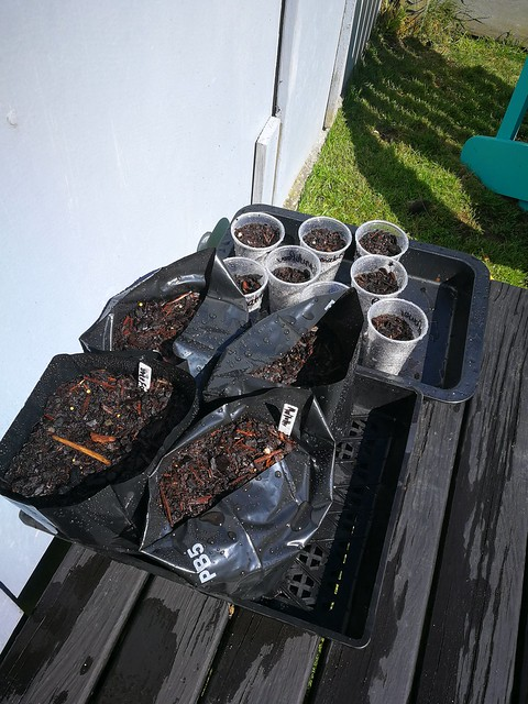 bell pepper planting in seed raising trays by shiny