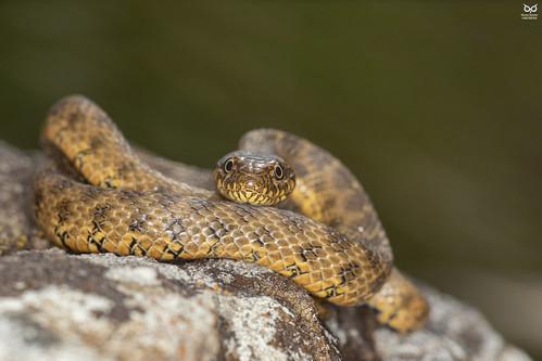 Cobra-de-agua-viperina, Viperine Water Snake (Natrix maura)