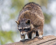 Raccoon on the log