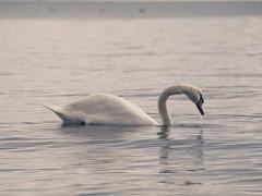Schwan auf der Ostsee - Bird Bokeh | 3. Oktober 2019 | Fehmarn - Schleswig-Holstein - Deutschland