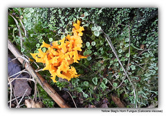 Yellow stags horn fungi.
