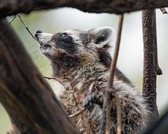 Raccoon climbing onto the tree