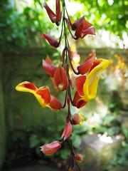Thunbergia mysorensis 1969-52048 - Acanthaceae_P8020284