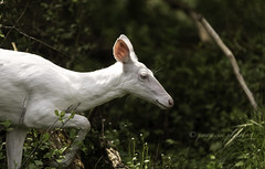 Elusive White Deer ~ Huron River and Watershed