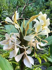 White Ginger Flowers