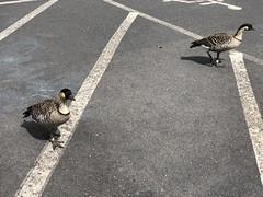 Curious Geese