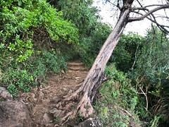 Leaning Tree by Kalalau Trail