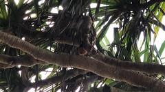 Kauai Elepaio Bird