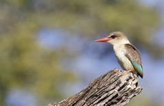 Brown-hooded Kingfisher - Halcyon albiventris