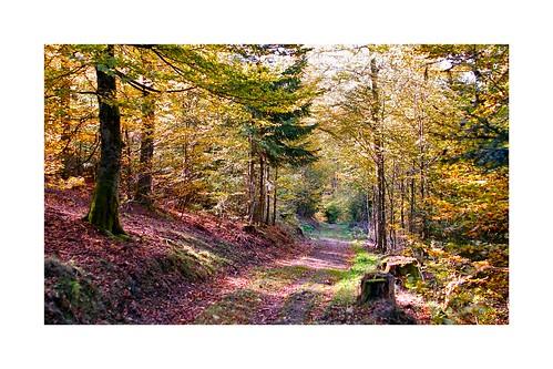La forêt alsacienne en automne
