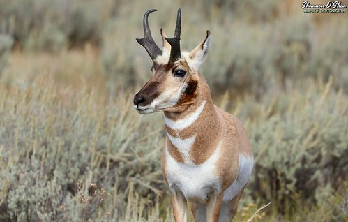 The Pronghorn can jump higher than the average house.  This is due to their powerful hind legs and the fact that houses can't jump.