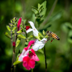 Bee and Flower 1
