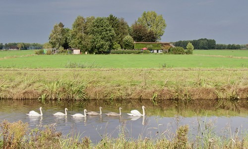 Swan family passing through / Zwanen familie op doorreis