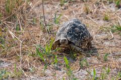 Pantherschildkröte / Leopard Tortoise