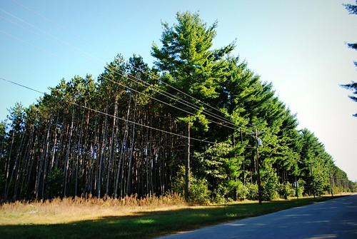 Pine forest near Muscoda, Wisconsin