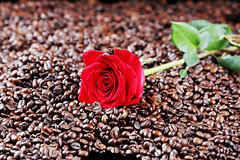 Red rose among coffee beans