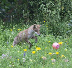 A 5 month old fox cub in a garden in south London.
