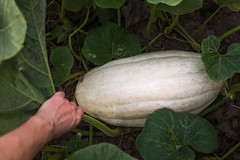Uncovering a large pumpkin under the leaves