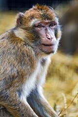 Next macaque portrait