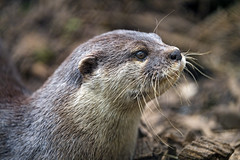 Profile of an attentive otter