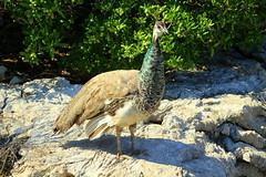 The wild peacock