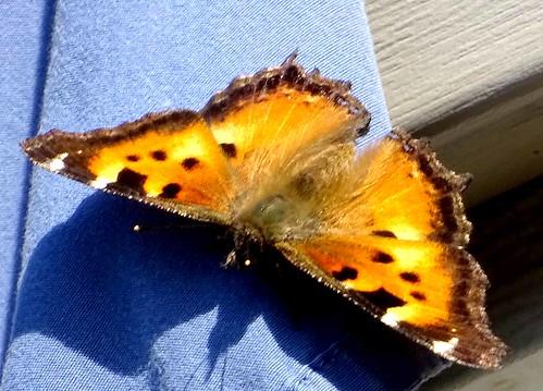 Oct14,2019 DSC09978 Late flying California Tortoiseshell Butterfly