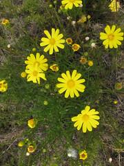Yellow Daisies - Wilson Inlet To Sea Return Walk, Bibbulmun Track, Nullaki Peninsula, Western Australia