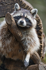 A raccoon posing  well