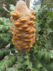 Older Banksia Flower - Wilson Inlet To Sea Return Walk, Bibbulmun Track, Nullaki Peninsula, Western Australia