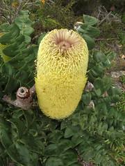Banksia Flower = Bushman's Compass - Wilson Inlet To Sea Return Walk, Bibbulmun Track, Nullaki Peninsula, Western Australia