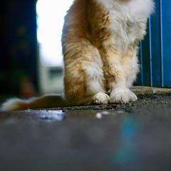 Mari-chan the #furry #orangecat 毛が #フサフサ の #茶トラ の #マリちゃん #Tokyo #日本 #東京 #Japan #cat #猫 #ネコ #ねこ #Katze #chat #gatto #gato #feles #кошка #KAT #gato #고양이 #חתול #ឆ្មា #kočka #kass #муур #pisică #my_eos_photo #Canon #EOS Kiss Digital X Canon EF 50mm f/1.8 II