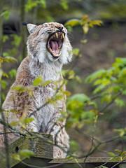 Mojak yawning
