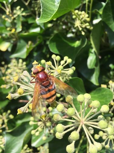 Hornissenschwebfliege (Volucella zonaria) (2)