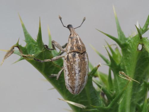 Larinus ursus (Curculionidae - True Weevils)