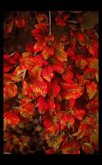 sanguine autumn