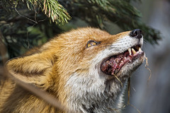 Fox with meat in the mouth, looking up