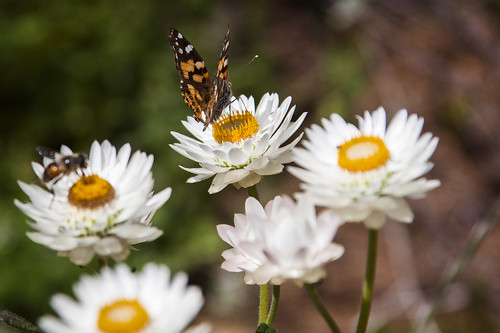 bees and butterflies on everlasting flowers