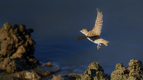 Gorrión (Sparrow)